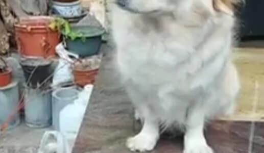 【一緒に連れて行って欲しい犬】車に乗り込んだ飼い主に悲壮感漂う目で訴える
