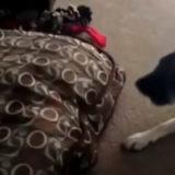 【ここが落ち着くにゃん】猫はしばしば犬の寝床を占領します。でも犬は怒りません!