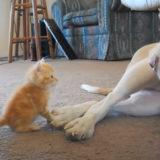 【癒される~】新入りの子猫をあたたかく見守るピットブル「よしよし、いい子だね」