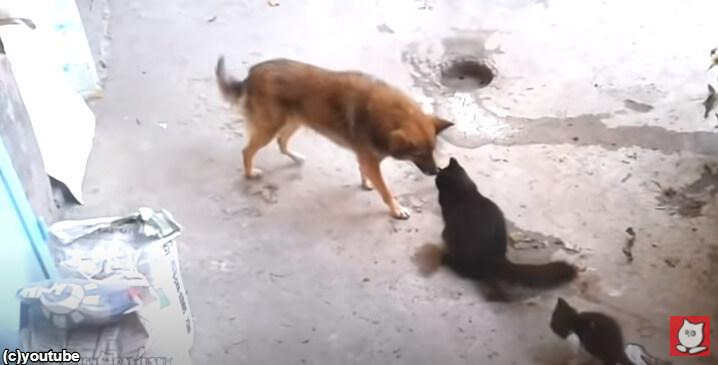 【そんなことあるの!?】猫が我が子を犬に合わせる動画「さ、挨拶しなさい」
