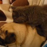 【犬のリラックスタイム】子猫にマッサージをされるパグ、気持ちよすぎてイビキをかいて寝る…