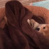 【ずっと見てられる~】赤ちゃんの柴犬が一人遊びに夢中でカワイイ!